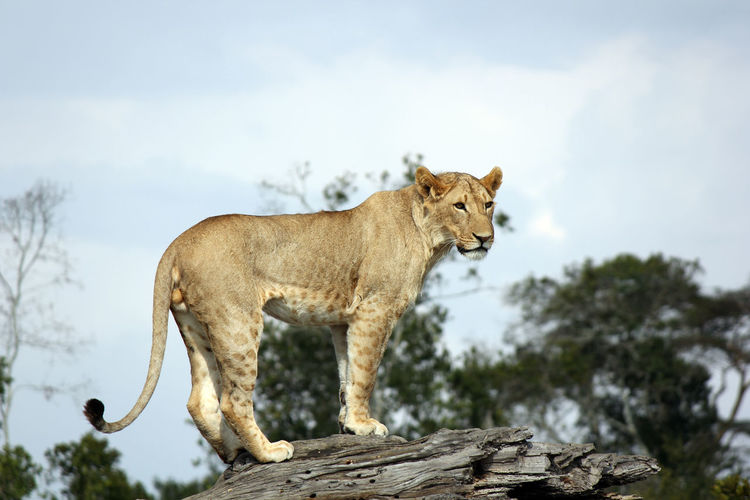 Low Angle View Of Lion On Tree Trunk Against Sky