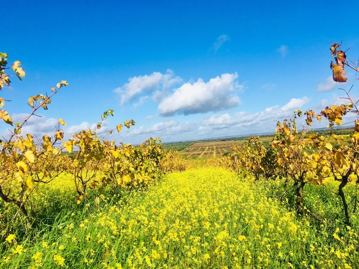 Autumn vineyard in yellow flowers Alentejo,Portugal Yellow Flower Vineyard Beauty In Nature Plant Flower Flowering Plant Growth Yellow Sky Land Landscape Field Scenics - Nature Tranquil Scene Nature Cloud - Sky