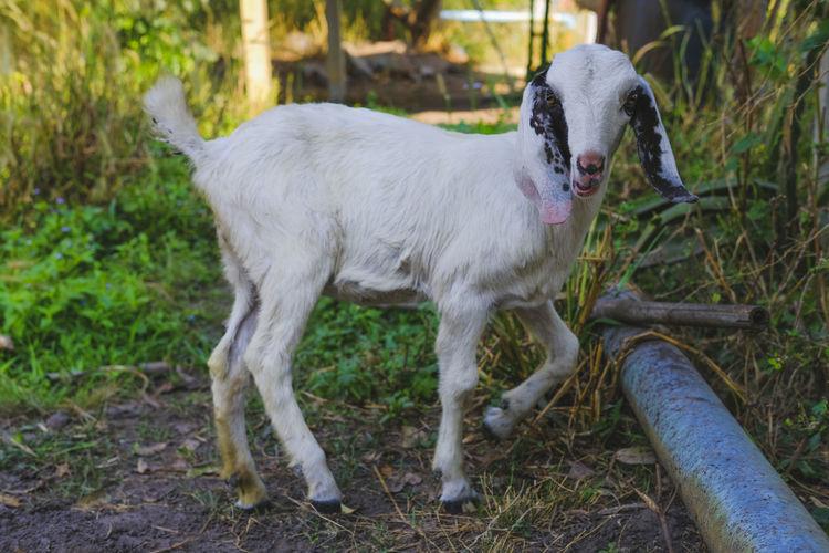 Baby goat,white bady