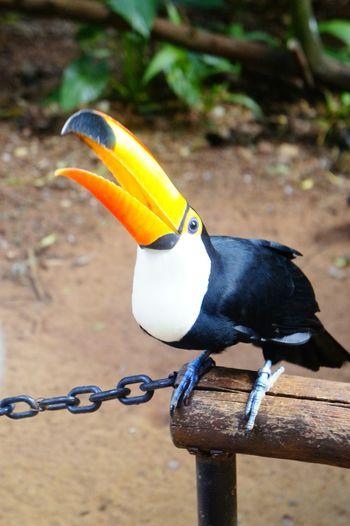 Toucan Brasil Bresil  Amazone Amazonia Amazonas-Brasil Amazon Animals Animal Birds Bird Bird Photography Pet Portraits
