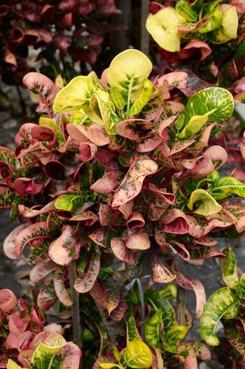 Beautiful Codiaeum Variegatium Croton Garden Croton Beauty In Nature Close-up Day Flora Flower Flower Head Foliage Fragility Freshness Growth Leaf Leaves Nature No People Outdoors Petal Plant Variegated Laurel