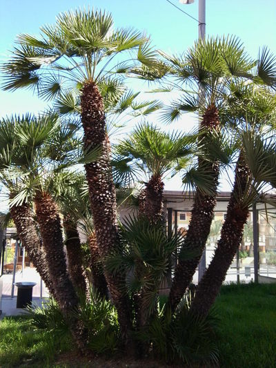 Palm Trees Palmeras Outdoors No People Nature_collection Spain_gallery Mediterranean  Spain ✈️🇪🇸 Plant