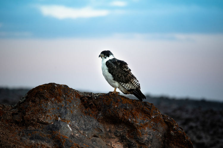 Augur buzzard or buteo augur in sanetti plateau in ethiopia