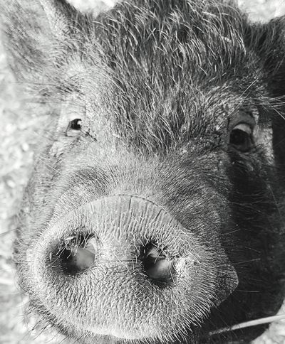 Pig on the farm Animal Head  , Animal Themes Farm Animals Pig Boar Wild Boar Mud Pig In Natural Environment Pig On The Farm Pig Head Boar Head This Week On Eyeem One Animal Close-up Livestock Outdoors Nature