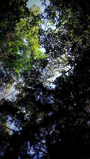 Low Angle View Tree Scenics Forest Beauty In Nature Sky Tree Canopy  Cairns, North Queensland, Australia