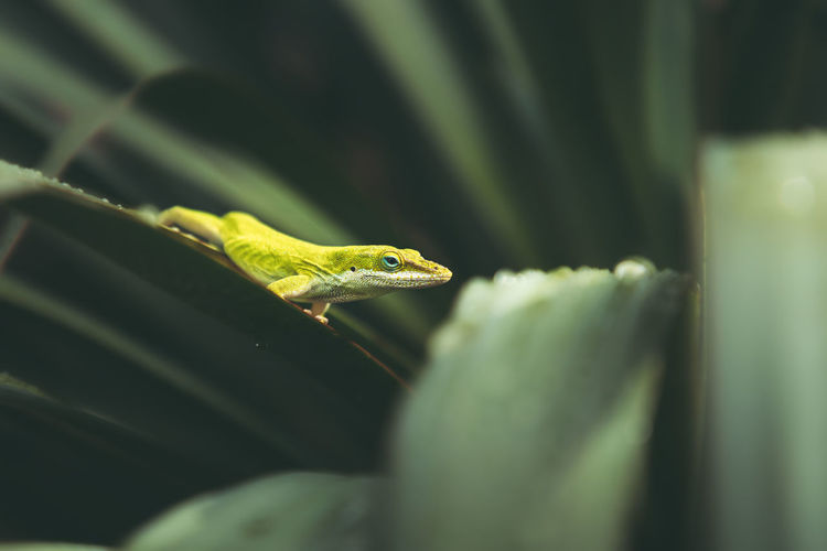 The carolina anole is an arboreal anole lizard native to the southeastern united states