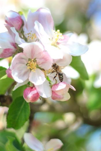 Baum Bee Biene Blüte Flower Flowering Plant Freshness Plant Beauty In Nature Insect Animal Nature