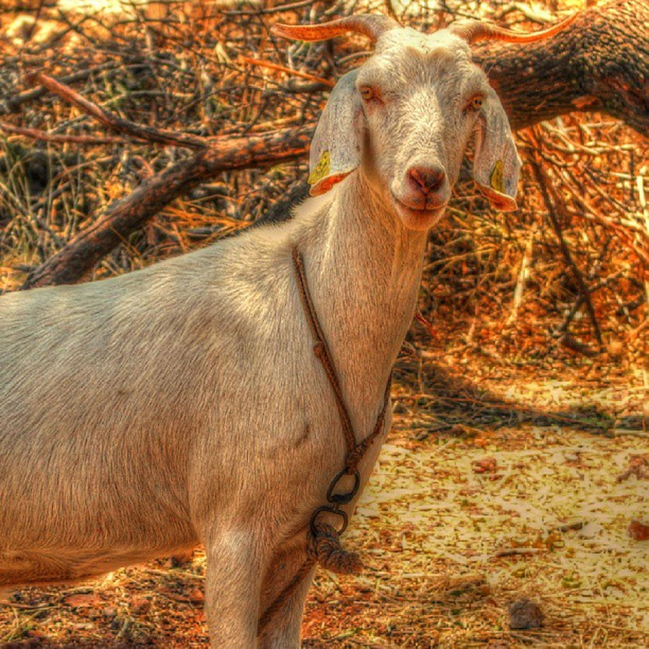 animal themes, mammal, livestock, one animal, animals in the wild, field, standing, wildlife, domestic animals, herbivorous, brown, nature, young animal, zoology, two animals, focus on foreground, outdoors, day, no people, vertebrate
