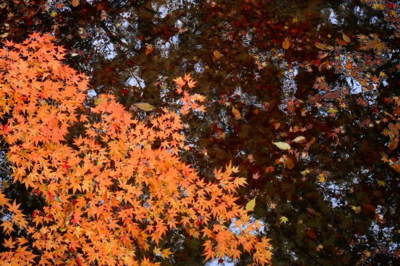 Water refraction 🍂 No Filter, No Edit, Just Photography Autumncolors Eye Em Japanese View EyeEm Best Shots Tree Beauty In Nature Plant Growth No People Low Angle View Full Frame Nature Orange Color Leaf