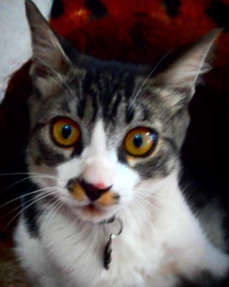 Brazil Brazilo Ilovemypet Felinos Chat Ilovemycat Katzen Gatos Lovecats Katoj Cats Meow Katt Katter Ilovemycats Cute Ilovecats Animais Bestoj Kitten Neko Feline Felines Cattoy Kitty Pets One Animal Domestic Cat Animal Themes Domestic Animals