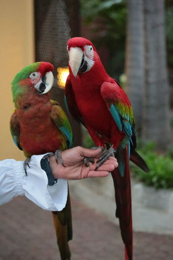 Frends Parrots Parrot Bird Red Animal Multi Colored Macaw Animal Wildlife Pets Close-up Birds Of EyeEm  Birds Of A Feather Textures And Colors Eyem Best Shots 3XSPUnity Beautiful Nature Nature Beauty In Nature Be. Ready. Pair Of Birds Macaw Parrot Macaw Red Pet PortraitsEyeEm Selects