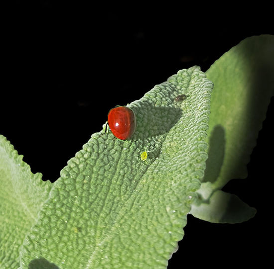 Aphid Black Background Close-up Green Color Insect Lady Bug Close Up Leaf Plant Part Salvia Leaf