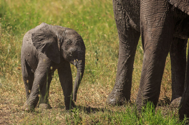 Elephant with infant standing on field