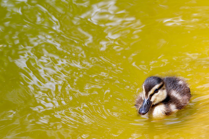 Close-Up Of Duckling Swimming In Lake
