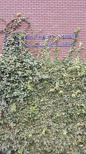 The Henry Grattan Building, where I had most of my lectures and tutorials, seems destined to disappear, swallowed by ivy. Ivy Wall Red Brick Wall