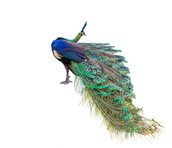 Male peacock on