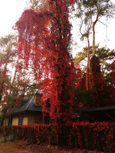 Tree Red House