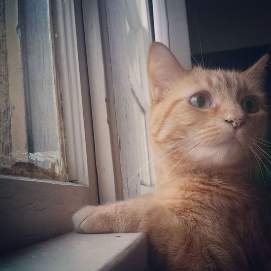 Hiro at the window Hiro Cat Ginger Tabby The Portraitist - 2014 EyeEm Awards