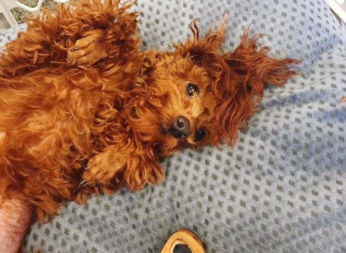 Ready for the weekend! Happy Weekend !!! Puppy Love Puppylife Redpoodle
