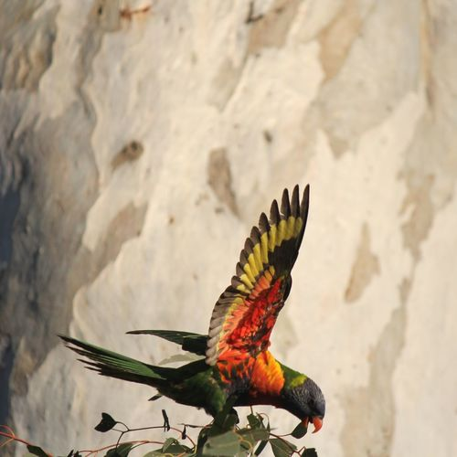 Close-up of parrot perching on rock