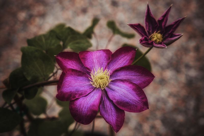 Clematis Clematis Flower Clematis Flowering Plant Flower Plant Petal Beauty In Nature Flower Head Inflorescence Vulnerability  Fragility Close-up Freshness Focus On Foreground Growth No People Day Outdoors Purple