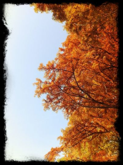 Autumn Autumn Colors Beauty In Nature Colors Leaves Nature No People Orange Color Outdoors Sky Tranquility Tree