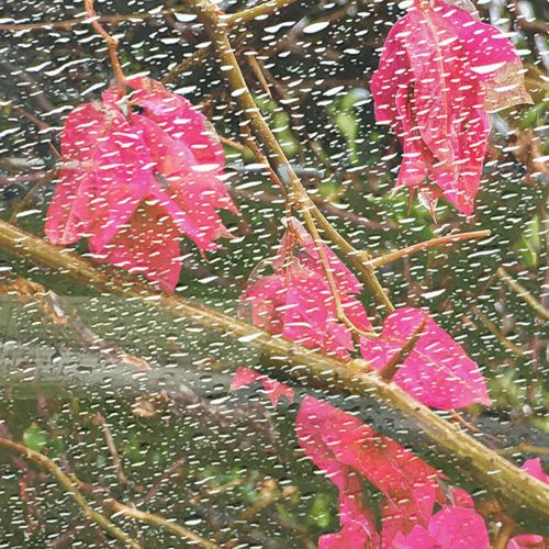 even through a rainy window the flowers are pretty ! Botany Plants Flowers Hotpink Fullframe Stem Rain