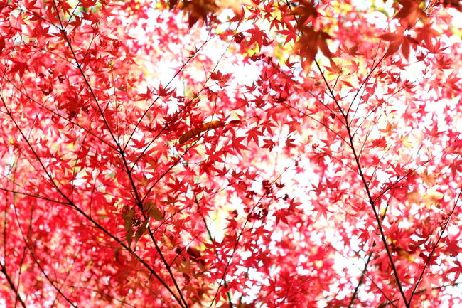 red maple leafs in ewha womans university Korea Seoul Autumn Backgrounds Beauty In Nature Branch Ewha Womans University Freshness Leaf Low Angle View Maple Maple Leaf Nature No People Outdoors Red Springtime Tree