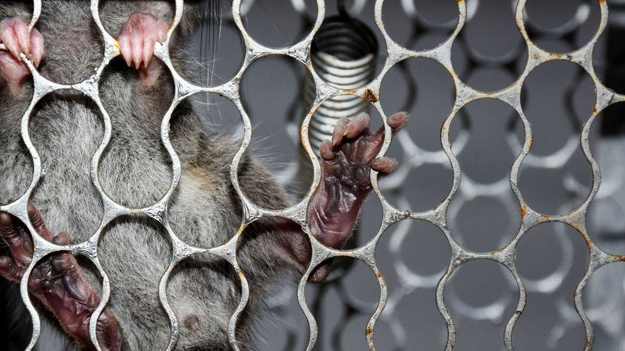 Rats in a cage made of metal