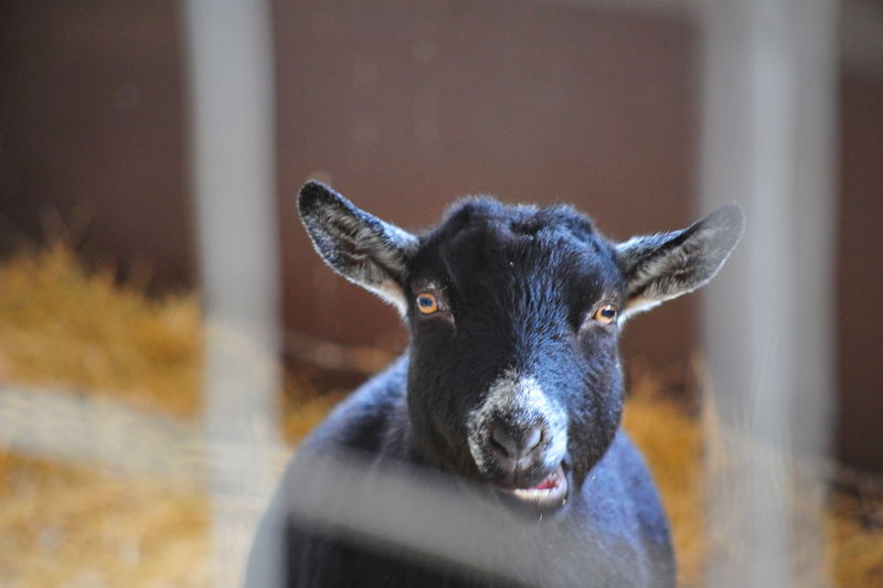 Animal Themes Close-up Day Domestic Animals Goat Looking At Camera Mammal No People One Animal Outdoors Portrait