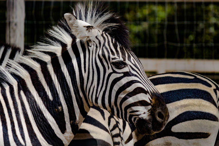 I found a stripy horse! Animal Animal Body Part Animal Head  Animal Markings Animal Themes Animal Wildlife Animals In Captivity Animals In The Wild Close-up Focus On Foreground Herbivorous Mammal Natural Pattern Nature No People One Animal Outdoors Safari Striped Vertebrate Zebra Zoo