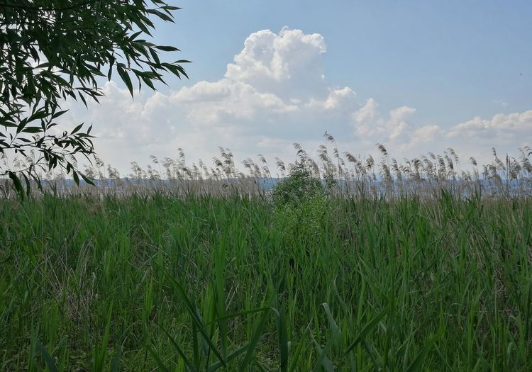 Reed - Grass Family Reed Grass Nature Green Color Growth Cloud - Sky Lago Di Garda Vegetation Lake Garda Gardasee Italy Lombardy Flower Water Tree Rural Scene Agriculture Sky Grass Cloud - Sky Plant Watering