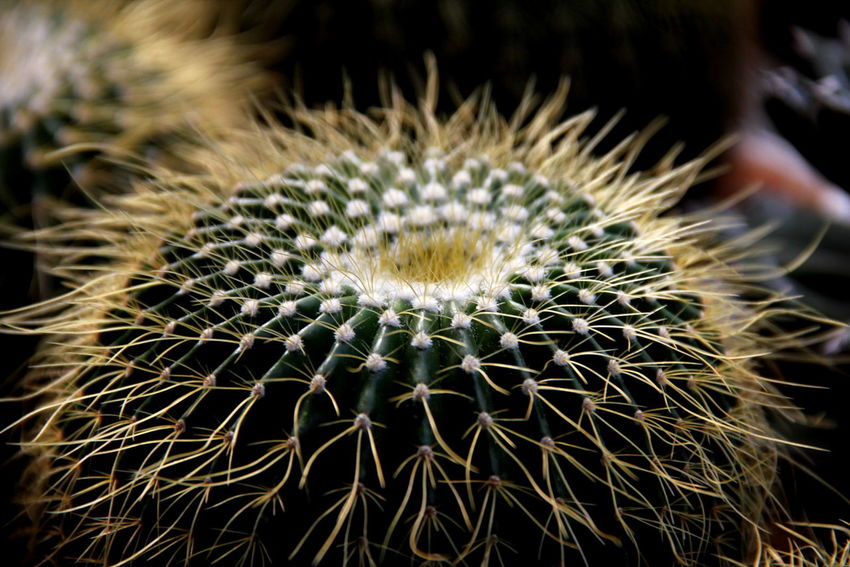 Beauty In Nature Cactus Close-up Day Flower Flower Head Freshness Growth Nature No People Outdoors Plant Spiked Thorn