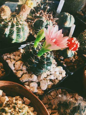 Cactus Cactus Flower Cacti I Love Cactus blooming gymnocalycium