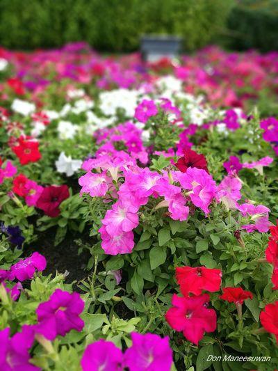 Flowers Outdoor Outdoor Photography Garden ดอกไม้ ดอกไม้ (Flower) สวนหลวง ร.9 สวน