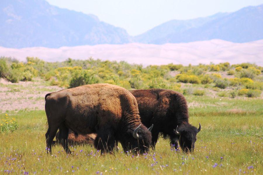 Bison Bison Herd Colorado USA Field Grass Nature Wildlife