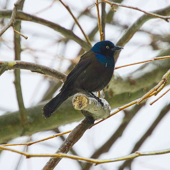 Animal Animal Themes Animal Wildlife Animals In The Wild Beauty In Nature Bird Branch Close-up Day Focus On Foreground Grackle Grackle Perching Nature No People One Animal Outdoors Perching Perching On A Branch Plant Springtime Tree Twig Upstate New York Vertebrate Winter