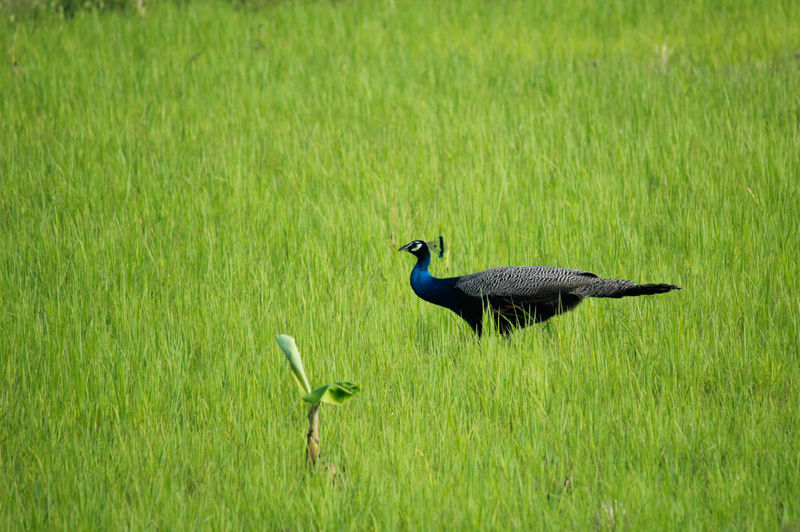 Peacock Bird Grass Animal Wildlife Field Nature Outdoors Beauty In Nature Green Color One Animal Animal Themes Agriculture Beautiful Bird Peacock Birds Of EyeEm  Birds Of A Feather Bird Photography Birds Of EyeEm  Simply Beautiful