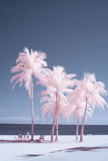 Miami palms on infrared