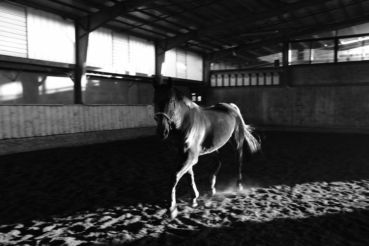 Liberty Nature Animal Themes Black And White Friday Domestic Animals Horse Indoors  Livestock No People