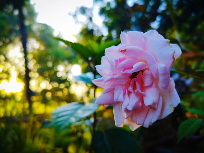 A flower does not compete, it just blooms. The Mobile Photographer - 2019 EyeEm Awards Flower Head Flower Pink Color Petal Springtime Close-up Plant Pale Pink Blooming Dahlia Single Flower Fragility Blossom Wild Rose Botany