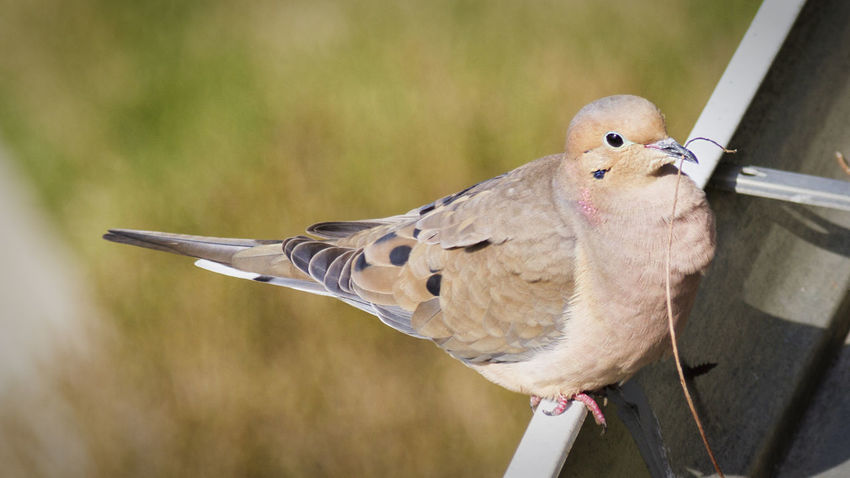 Mourning Dove Animal Themes Animals In The Wild Bird Day Gutters Nature Nest Building No People One Animal Outdoors Perching Side View Wildlife