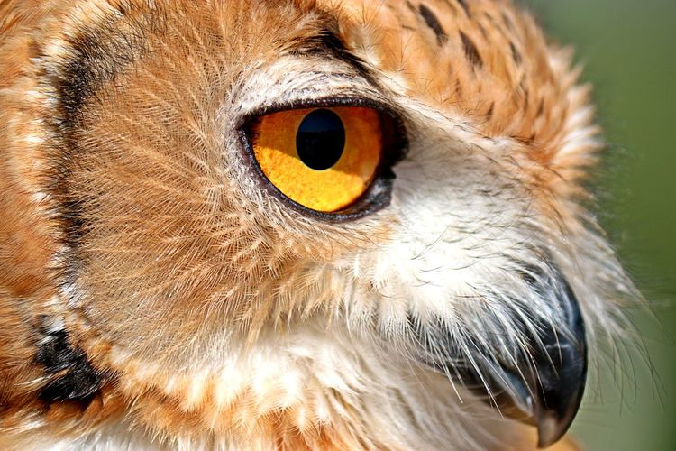 eagle owl Desert Owl Eagle Owl  Nature Animal Animal Body Part Animal Eye Animal Head  Animal Themes Animal Wildlife Animals In The Wild Beak Bird Bird Of Prey Close-up Day Desert Eagle Owl Eye Eyeball Iris - Eye Looking At Camera Mammal Nature No People One Animal Outdoors Owl Portrait Yellow Eyes