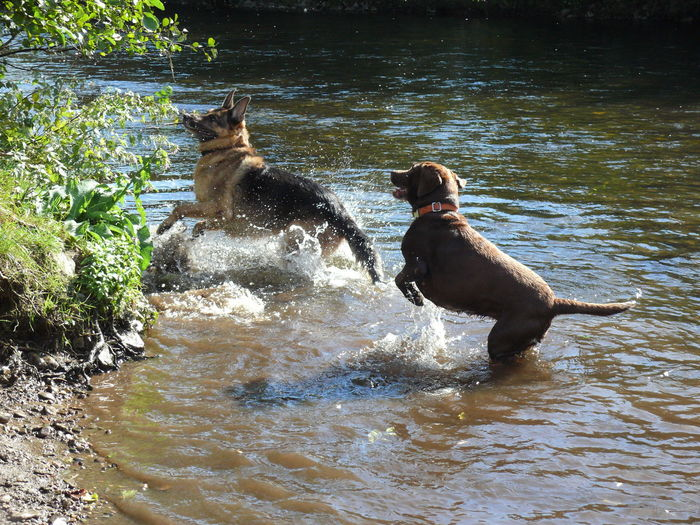 Dogs fighting in lake