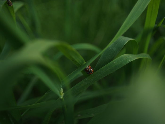 High angle view of ladybugs mating on grass