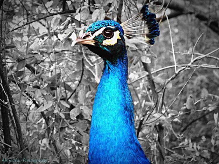 Pavoneggiarsi Pavone Peacock Blue Blackandwhite Color Explosion Nature