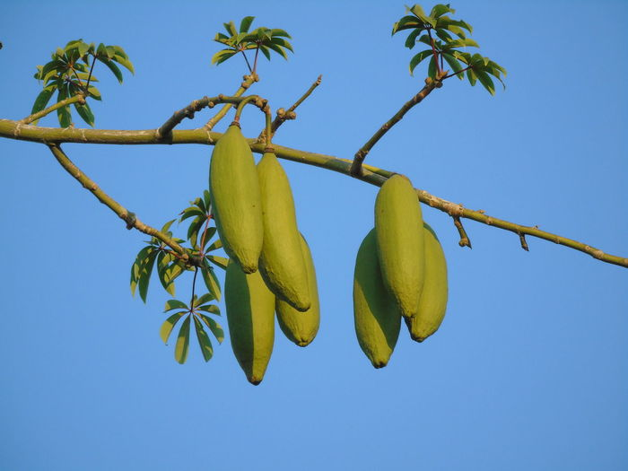 Low angle view of fruit growing on tree against blue sky