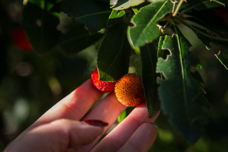 Close-up of hand holding strawberry