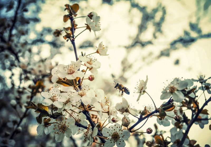 Showcase March Bee 🐝 Bee Bee And Flower Blooming Blooming Tree Blooming Trees Little Creatures Flying Insect Flying Insects SpringBlossom SpringBloom Springblooms Springblossoms Spring Has Arrived Spring Time Springtime Spring