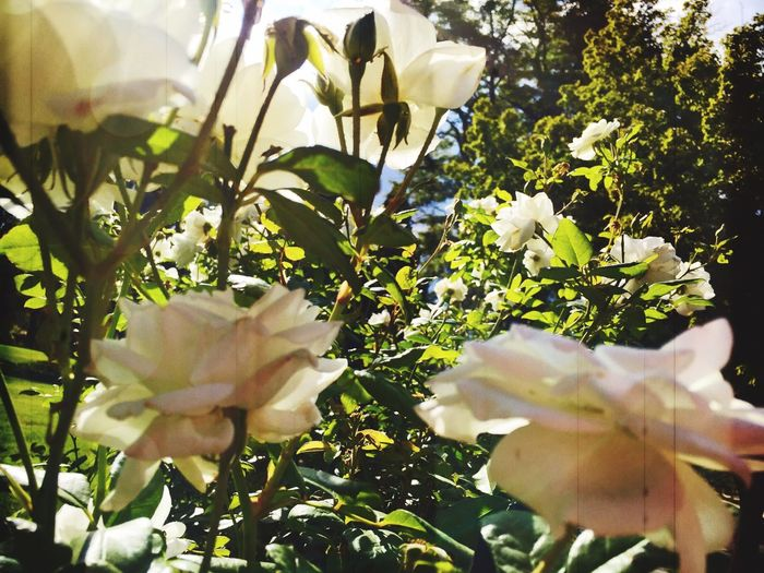 Flower Freshness Fragility Beauty In Nature Close-up Nature Day Flowers Summer Ending Summertime Pretty Sunlight Sunlight ☀
